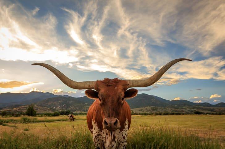 A longhorn bull standing in a field beneath a cloudy sky