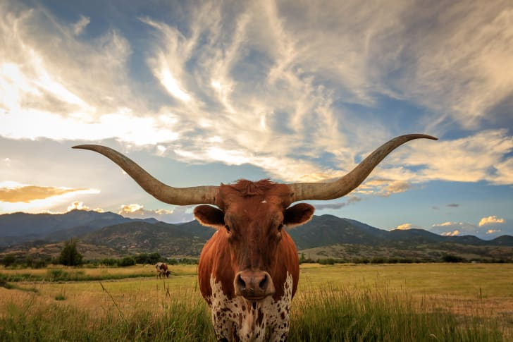A longhorn bull standing in a field beneath a cloudy sky