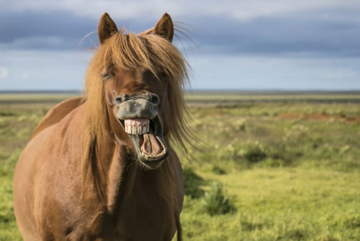 A laughing horse