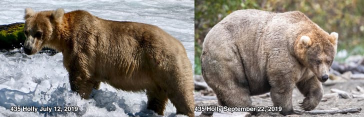 A before and after shot of Holly, winner of Katmai National Park and Preserve's Fat Bear Week competition