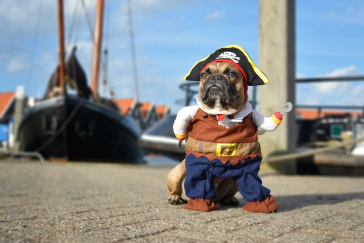 French bulldog dressed up as a pirate