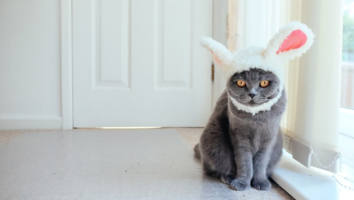 Grey Scottish Fold cat wearing a hat with bunny ears