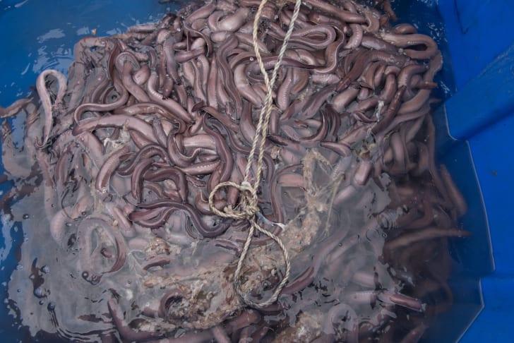 Large blue bin of slime eels or hagfish
