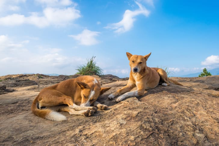 Two Indian pariah dogs.