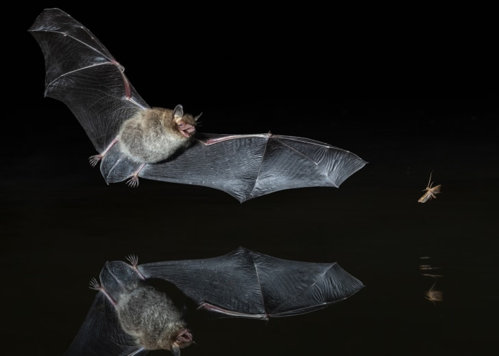 Bat chasing an insect