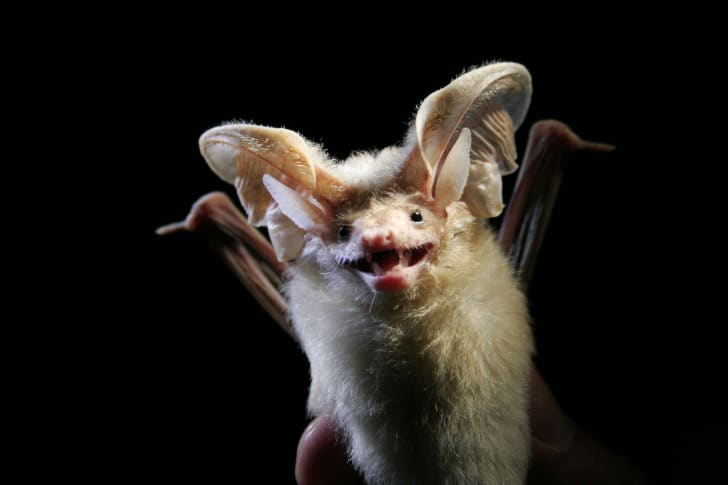 A smiling bat with huge ears
