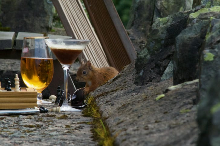 Red Squirrels at the Haweswater Hotel.