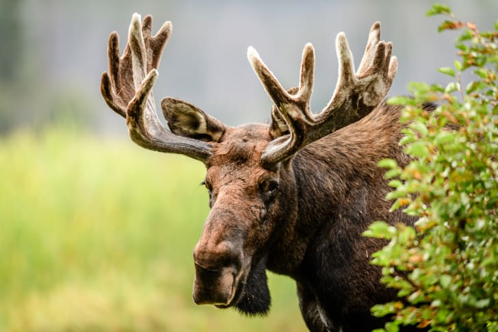 A portrait of a Colorado Bull Moose in the wilderness.