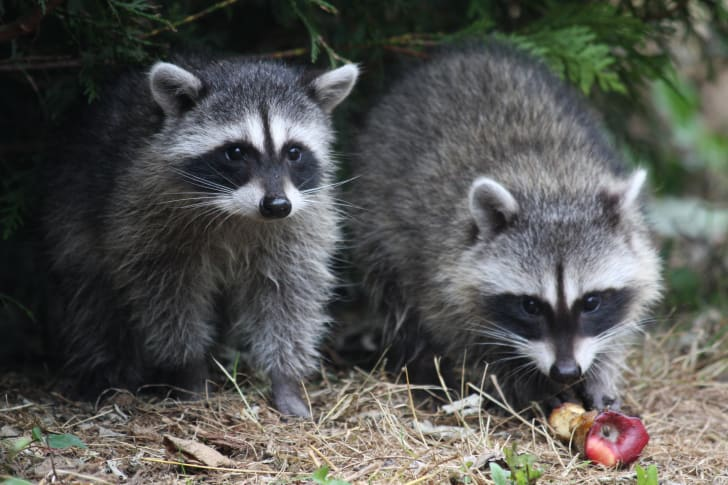 Two raccoons sitting in front of an apple.
