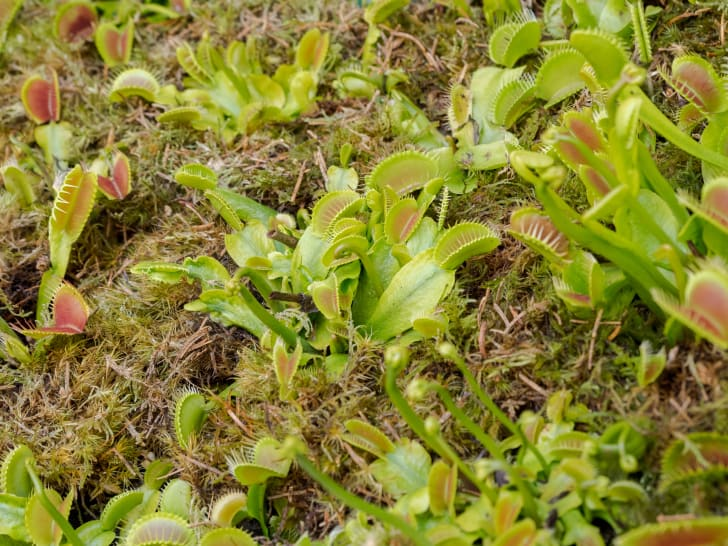 Venus flytraps in the wild.