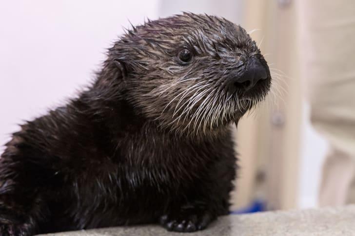 Shedd aquarium otter pup