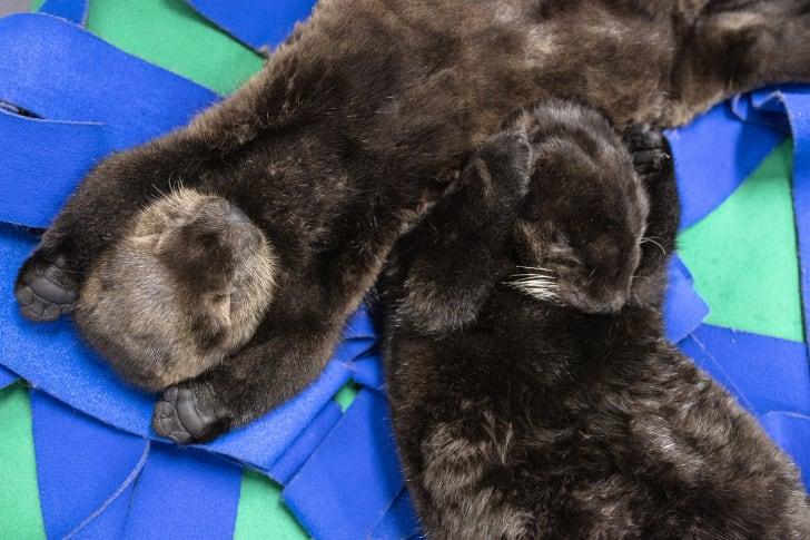 Shedd aquarium otter pups