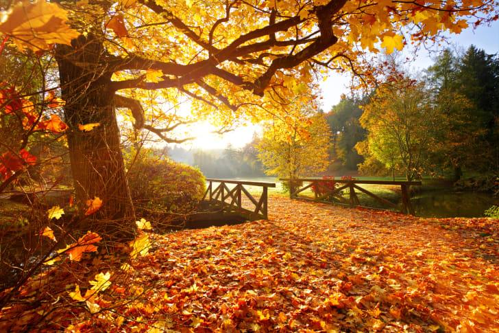 Sunlight on golden fall foliage