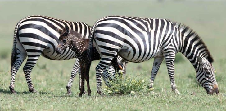 Zebra foal with spots.