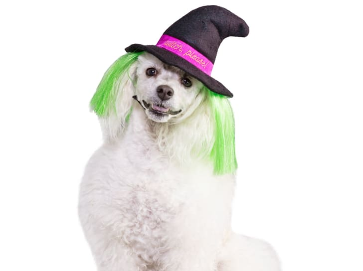 Witch hat dog Halloween costume.