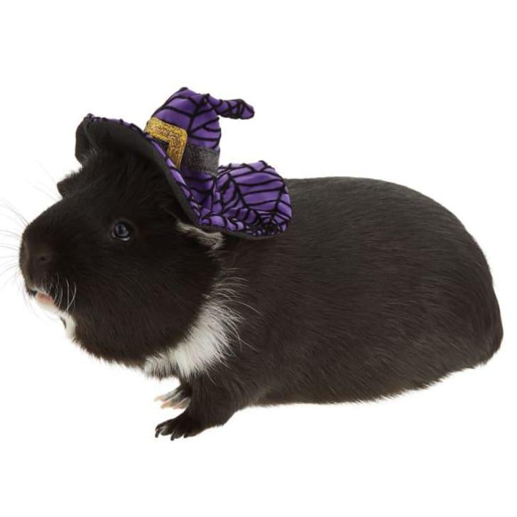 Guinea pig in Halloween costume.