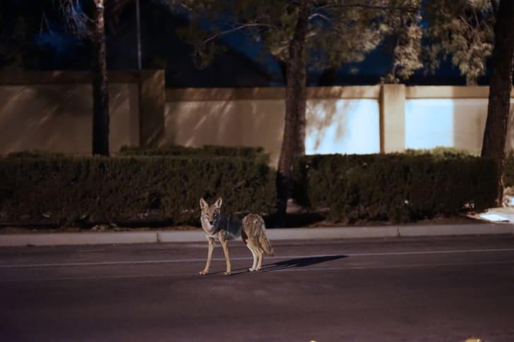 Coyote on suburban street.
