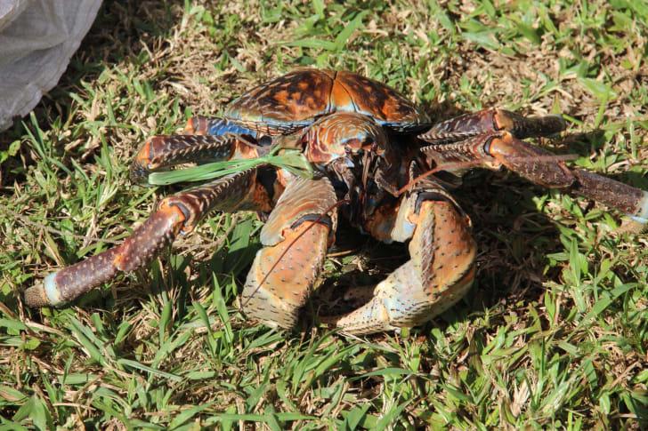 Coconut crab