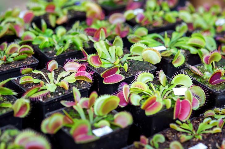 Venus flytraps in planters.