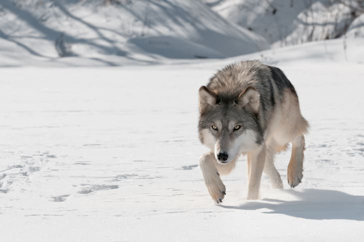 Gray wolf stalking prey in the snow