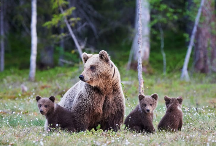 brown bear with three cubs