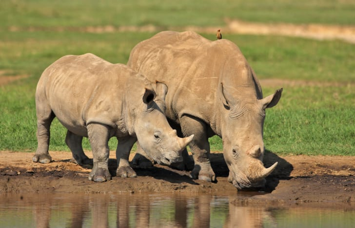 White rhino adult and calf