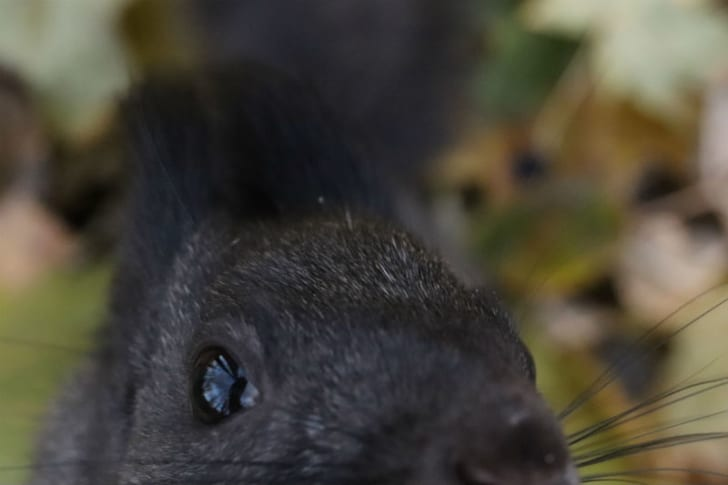 A black squirrel is pictured