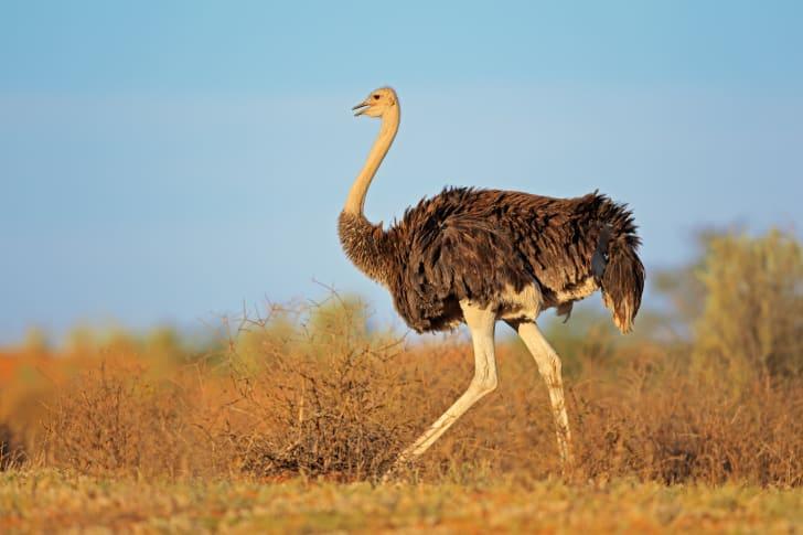 A female ostrich struts her stuff in South Africa