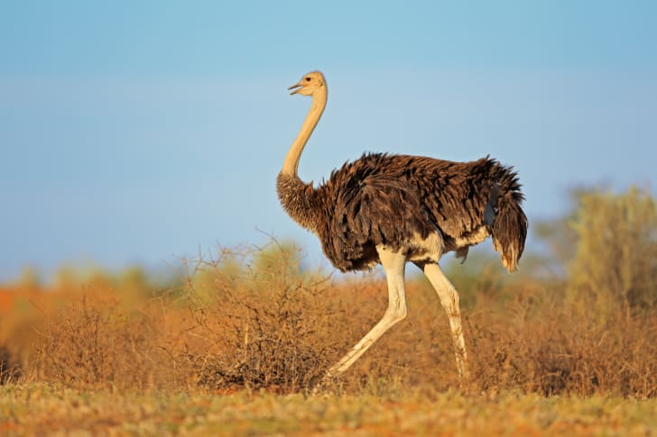 A female ostrich struts her stuff in South Africa