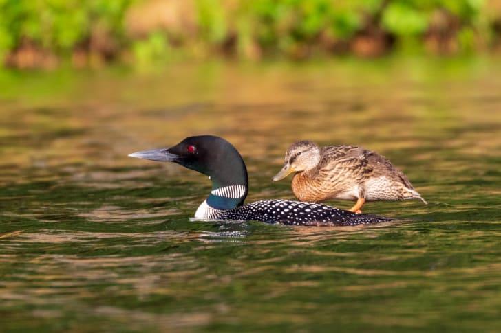 A baby mallard duck rides on loon's back