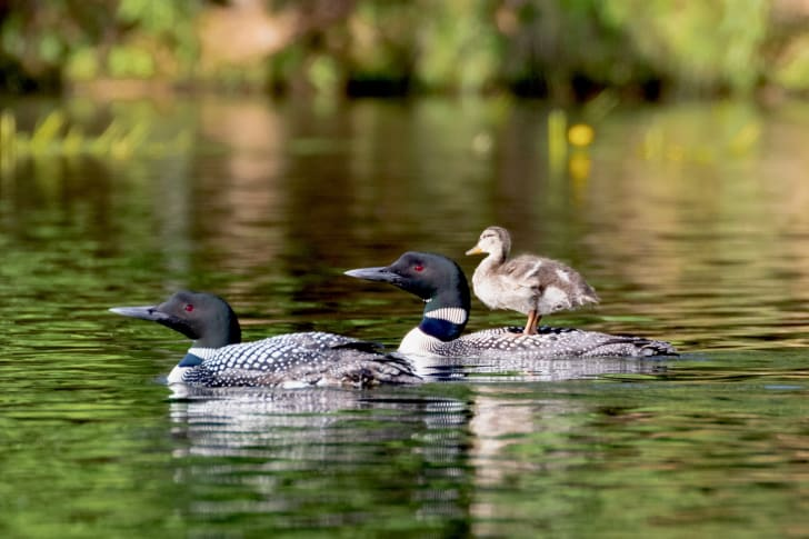Baby mallard rides on the back of its loon parent