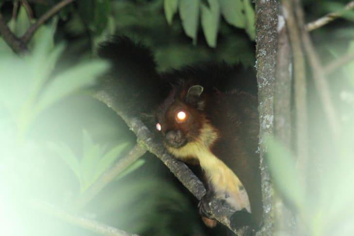 Mount Gaoligong flying squirrel