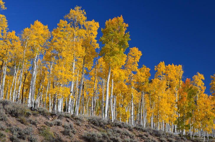 A fall photo of Pando, or the Trembling Giant