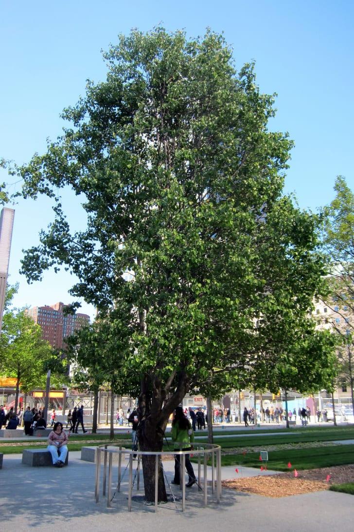 Survivor Tree at the National September 11 Memorial & Museum