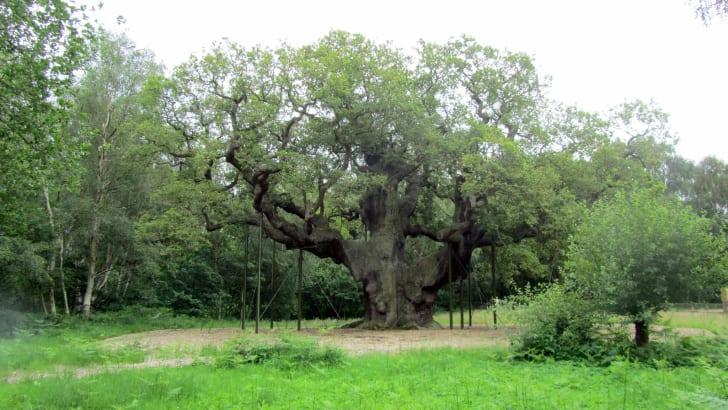The Major Oak of Sherwood Forest