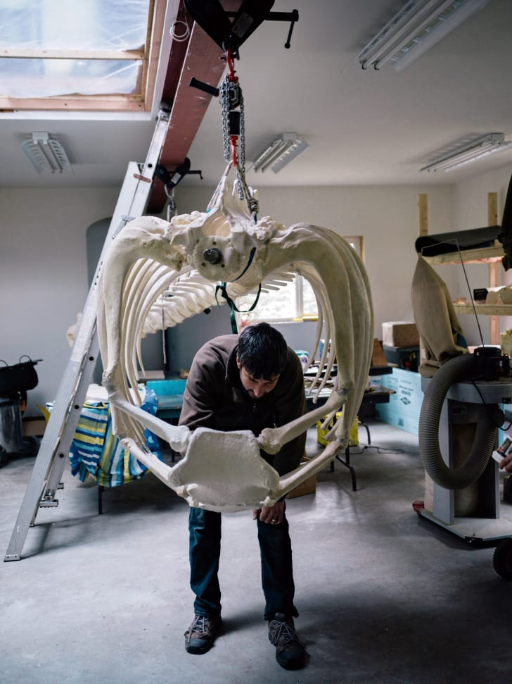 Mike DeRoos works on the killer whale rib cage