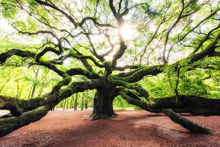 The old and historic Angel Oak Tree near Johns Island in South Carolina