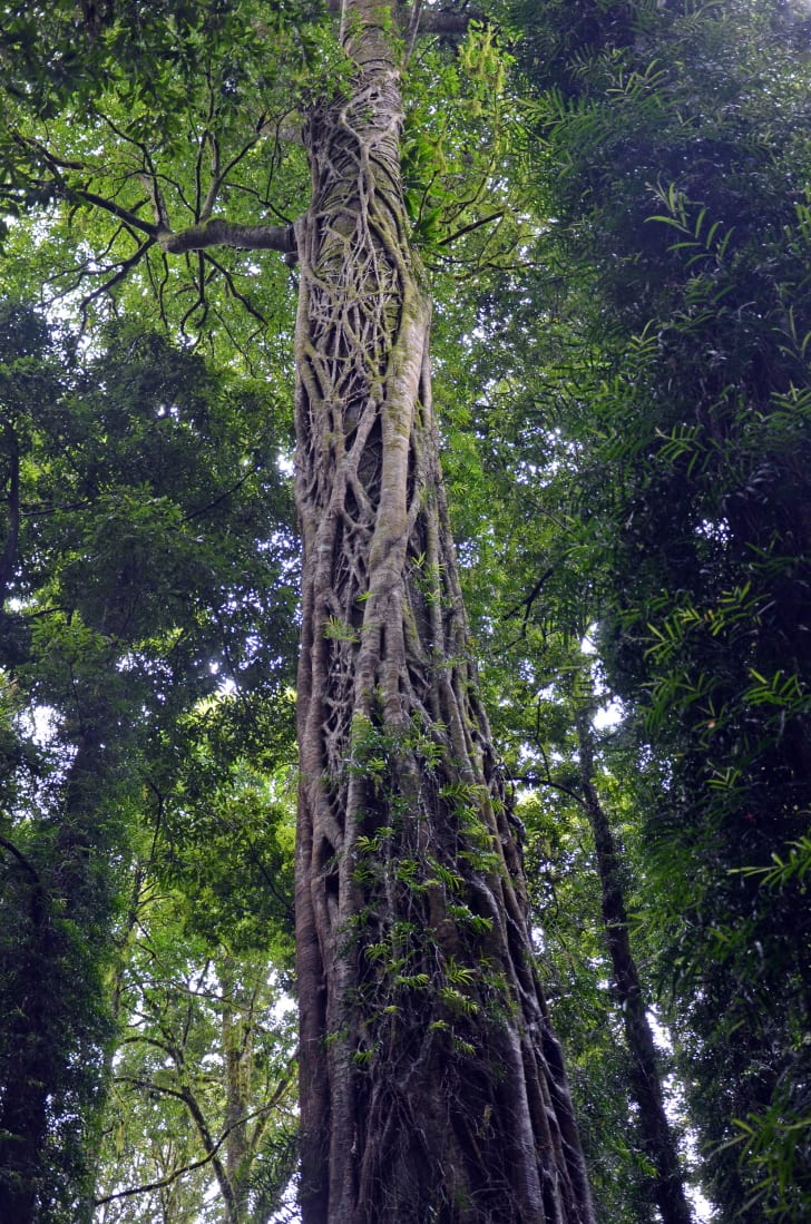 Strangler fig growing up the trunk of a tall host tree to reach the light above the rainforest canopy