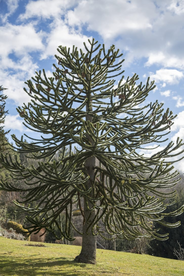 A photo of the monkey puzzle tree