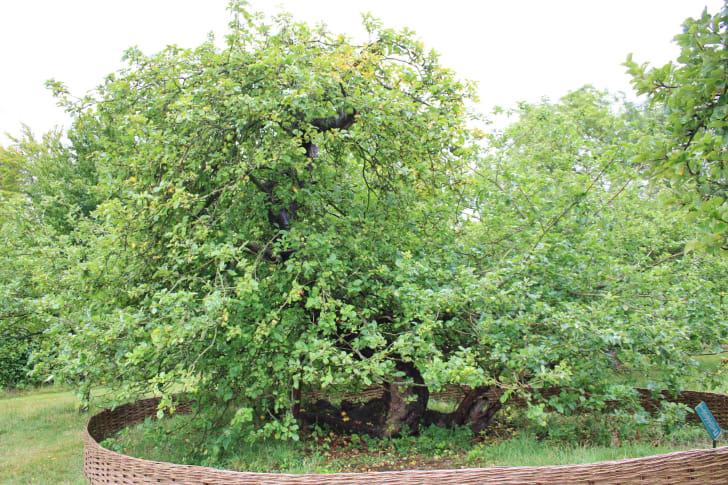 Sir Isaac Newton's apple tree