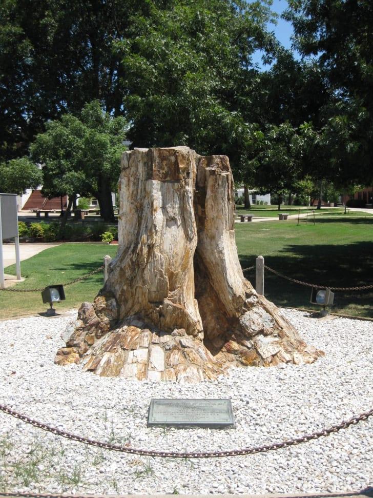 Callixylon tree stump