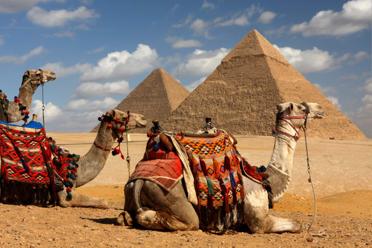 Two camels lying down with the pyramids of Giza in the background