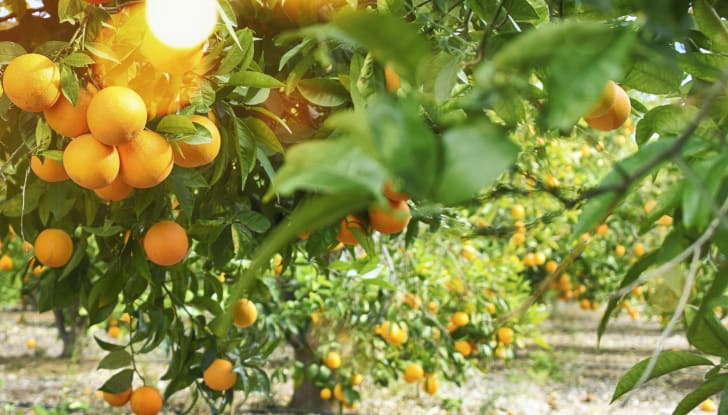 Fruiting orange trees in a sunny grove