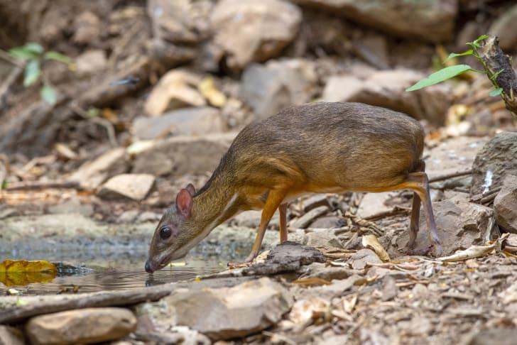 Lesser mouse deer or chevrotain