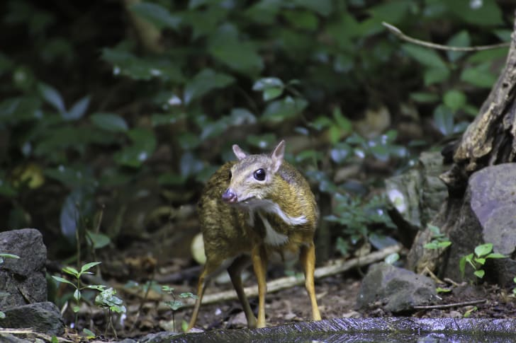 Mouse deer in Thailand