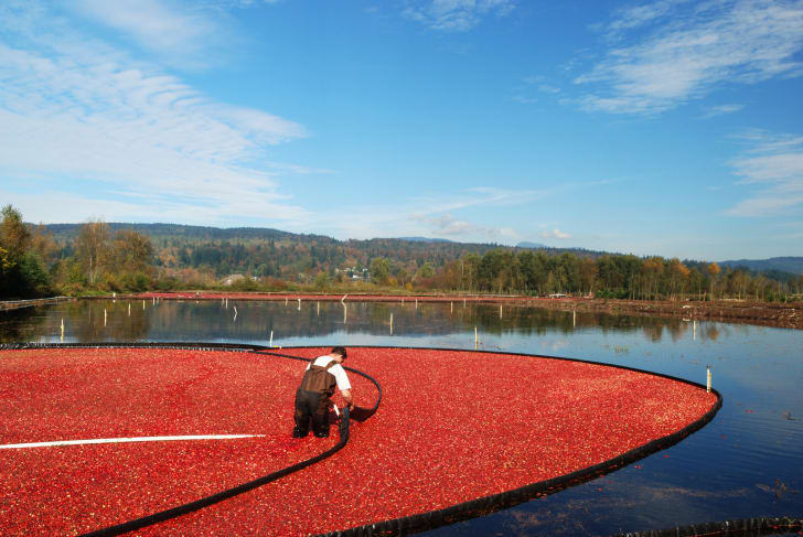 farmer wet-harvesting cranberries