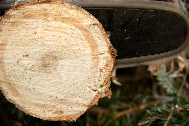 A person using a chainsaw to cut a small disc off the base of a tree.