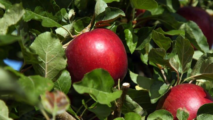 cosmic crisp apple on tree