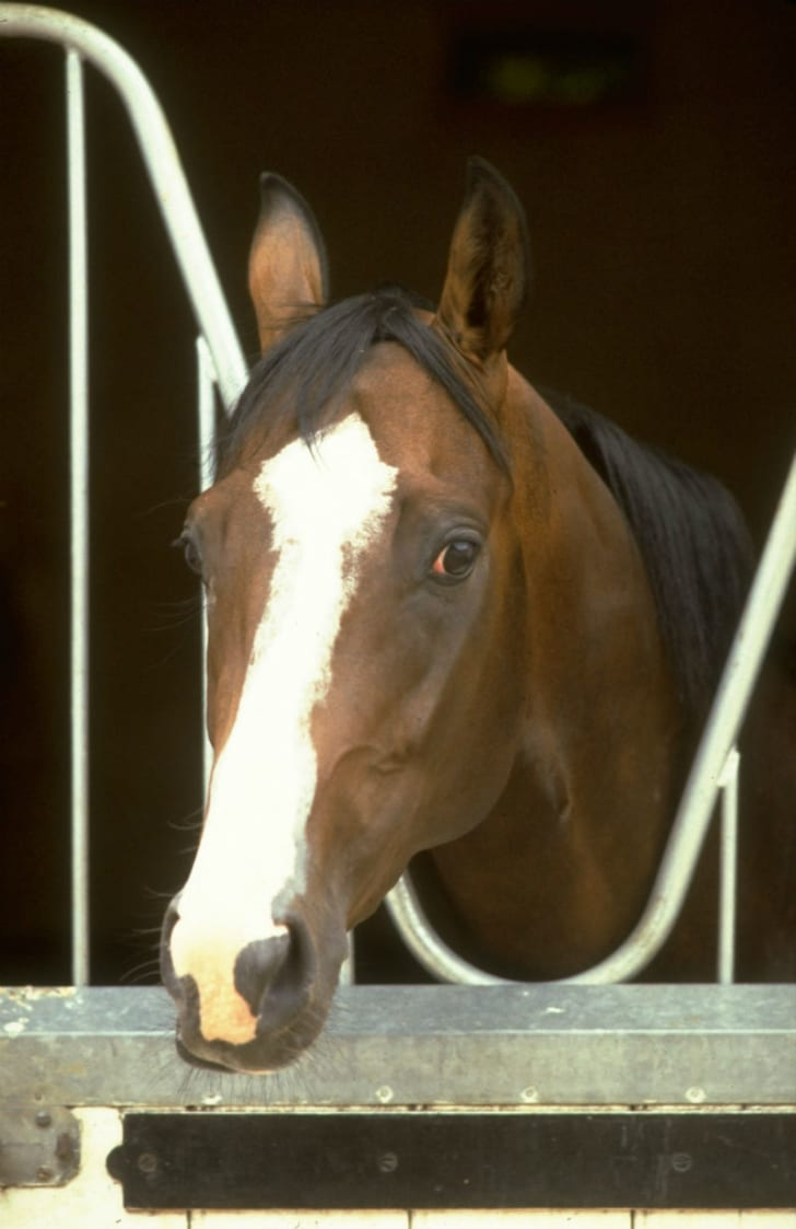 Shergar is pictured at his stables in Newmarket, England in 1980