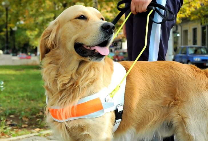 A yellow Labrador Retriever assistance dog